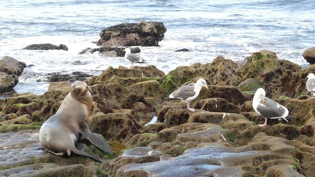 Lew morski na skale. dzikie uszatki przez ocean. zwierzę na plaży. ssak morski, kalifornia, usa.