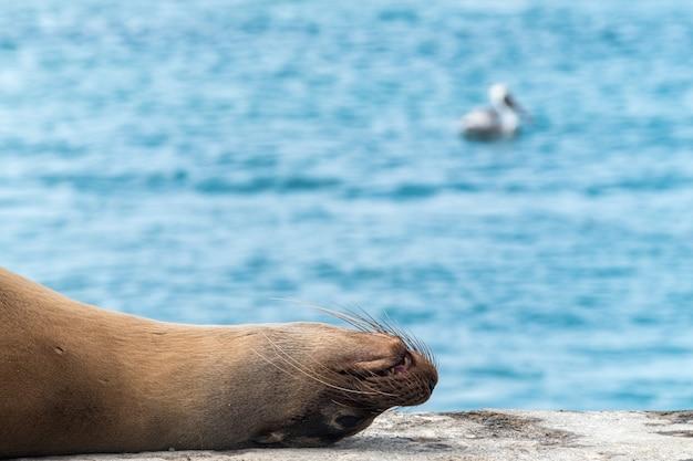 Lew morski śpi na molo na morzu na wyspach galapagos w ekwadorze