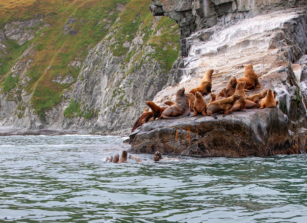 Lew morski steller na skale na półwyspie kamczatka