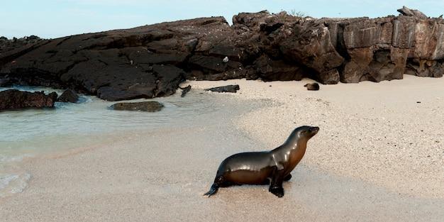 Lew morski z galapagos (zalophus californianus wollebacki), wyspa genovesa, wyspy galapagos, ekwador