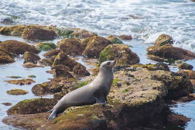 Lew morski z kalifornii sunning na skałach w pobliżu krawędzi oceanu spokojnego