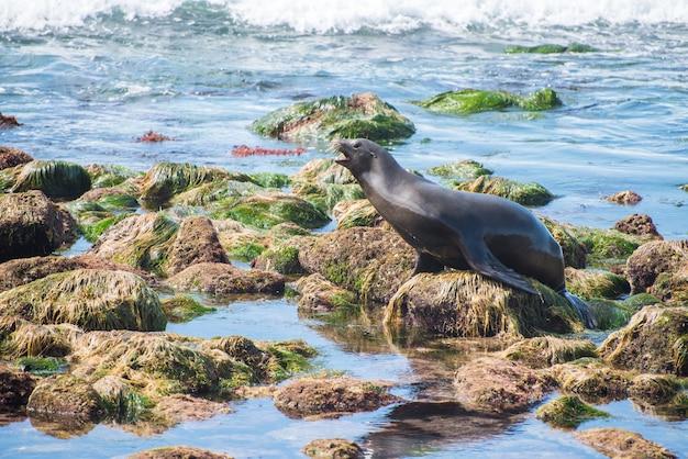 Lew morski z kalifornii szczeka na skałach w oceanie