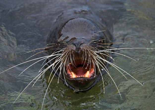 Lew morski z wąsami w wodzie