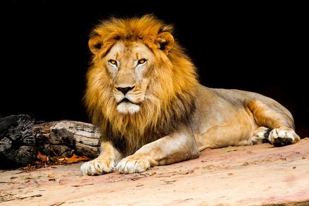 Lew na kamiennej naturze, lew jest ssakiem typu dzikiej przyrody kota