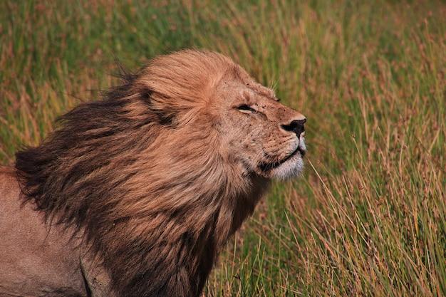 Lew na safari w kenii i tanzanii w afryce