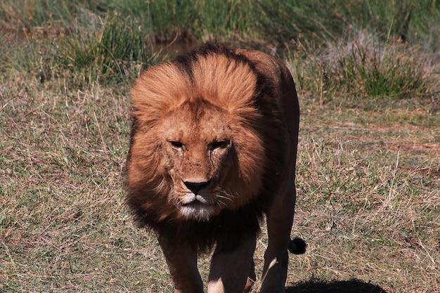 Lew na safari