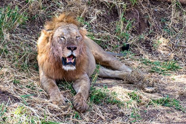 Lew odpoczywa na trawie i krzakach w ciągu dnia