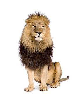 Lew, panthera leo na bielu odizolowywającym