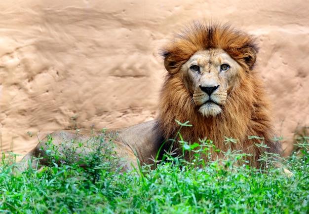 Lew patrząc aparatu