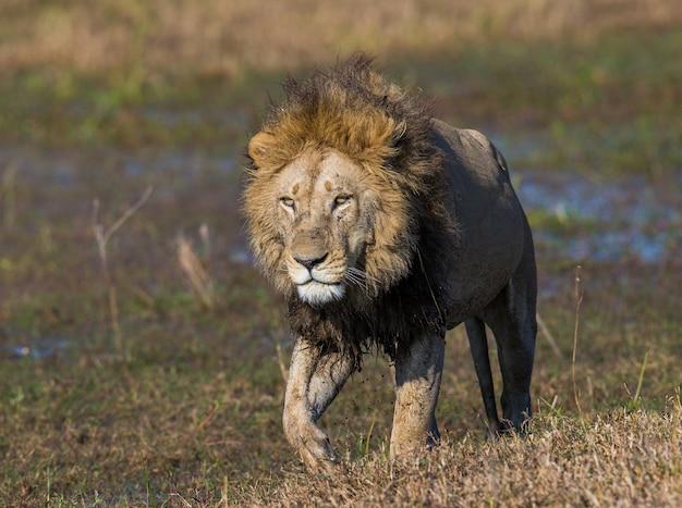 Lew przechodzi przez bagna