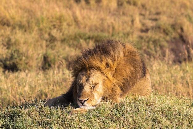Lew śpiący król zwierząt masai mara africa
