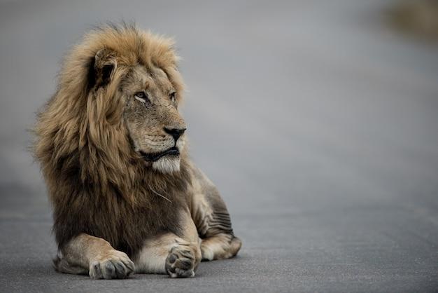 Lew spoglądający na drugą stronę