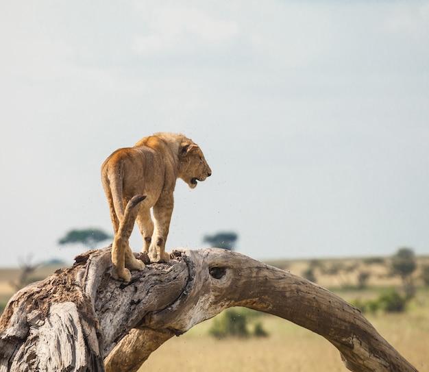 Lew w dzikiej przyrody
