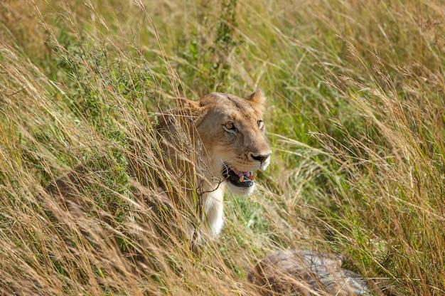 Lew w parku narodowym kenii, afryka