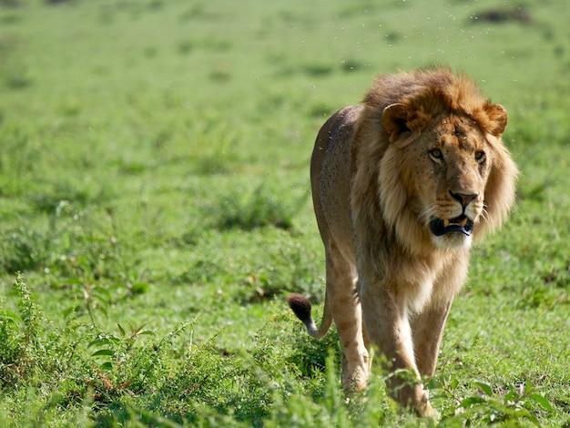 Lew w parku narodowym masai mara - kenia