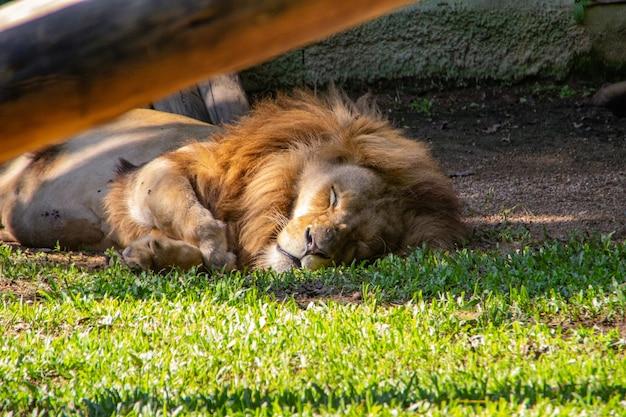 Lew w pomerode zoo w santa catarina, brazylia