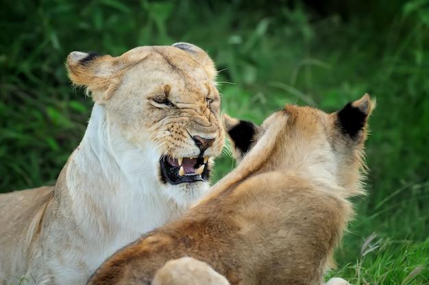 Lew w rezerwacie narodowym afryki, kenia