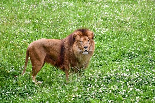 Lew w środowisku naturalnym