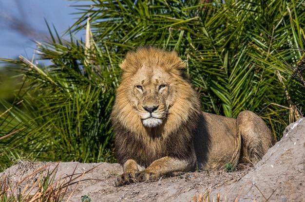 Lew w trawie