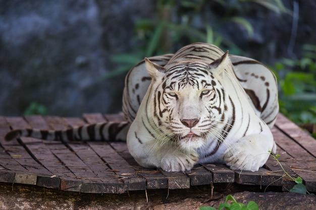 Lew wystawiony w zoo