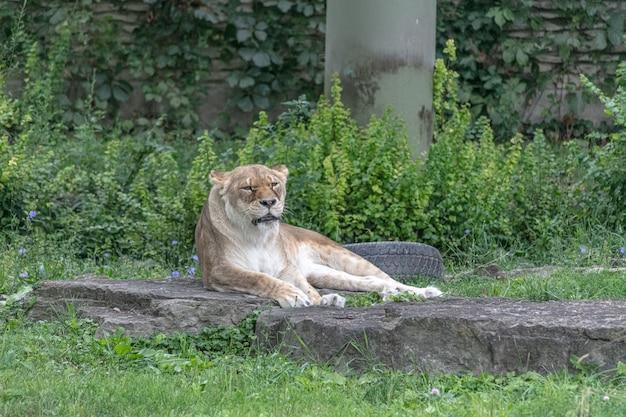 Lew z afryki wschodniej siedzi na ziemi w otoczeniu zieleni w zoo