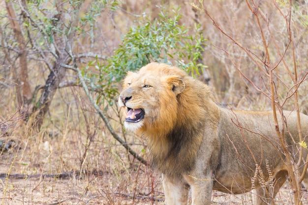 Lew z parku narodowego krugera, republika południowej afryki