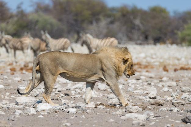 Lew z zebry rozmyte w tle. przyroda safari w etosha parku narodowym, namibia, afryka.