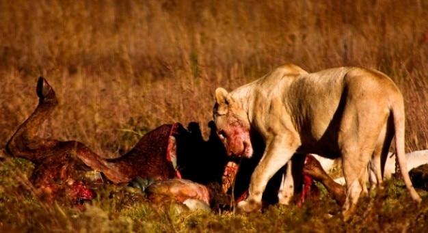 Lew zdobycz nsfw