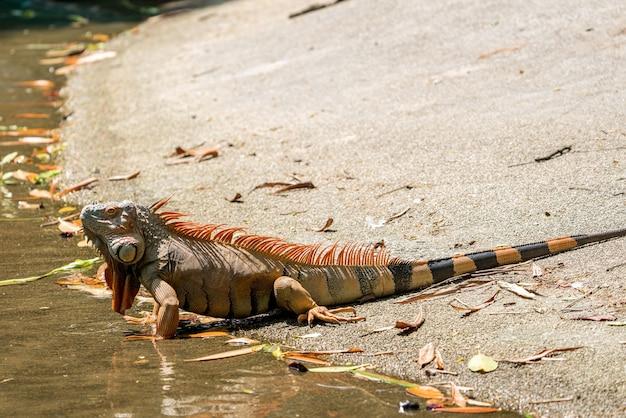 Lewy bok przedstawia samca iguany rozwijającego się w sezonie lęgowym w kolorze pomarańczowym do pomarańczowo-czerwonego