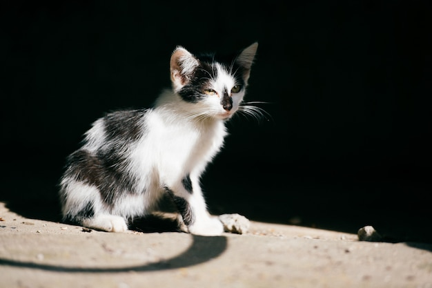Lewy miejski bezdomny kotek siedzący w abstrakcyjnym cieniu na czerni, rozglądający się. owłosiony włóczęga ładny kot odkryty. zagubione głodne zwierzę domowe szukające domu i jedzenia ...