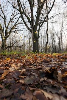 Leżąc na ziemi opadł jesienią liście dębu, którego część jest lekka i dopiero niedawno opadła, część poczerniała i gnije, zbliżenie jesieni jesienią