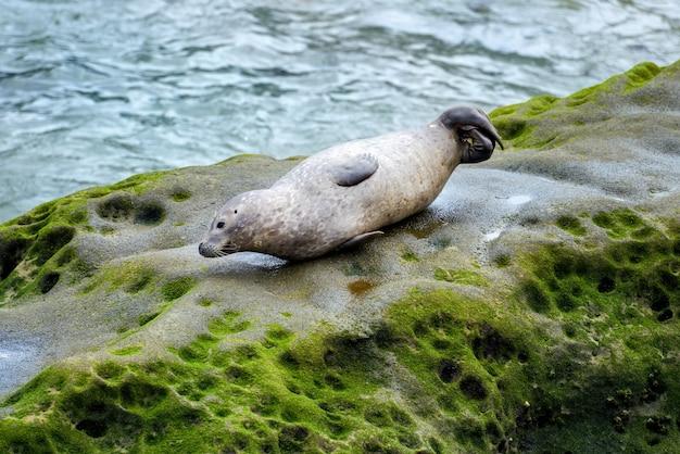 Leżąca Foka Na Omszałej Skale W Pobliżu Oceanu Premium Zdjęcia