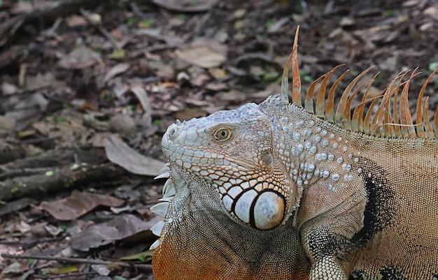 Leżąca na ziemi głowa iguany z pomarańczową szyją to wyspa. występuje na różnych wyspach w regionie karaibów w polinezji. (physignathus cocincinus)