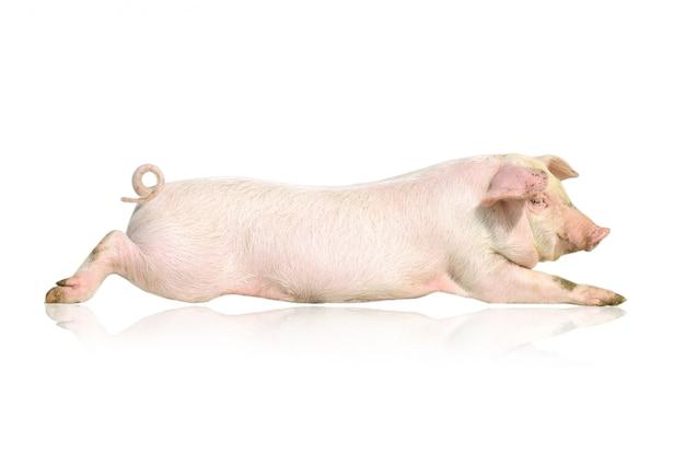 Leżąca różowa świnia na białym tle