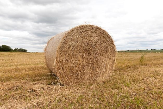 Leżące na trawiastych polach stogi siana - suszona trawa, która służy do karmienia zwierząt gospodarskich, krajobraz przy pochmurnej pogodzie