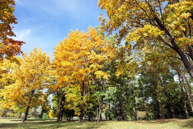 Leżące na ziemi żółte liście klonu jesienią. lokalizacja w parku. mała głębia ostrości.