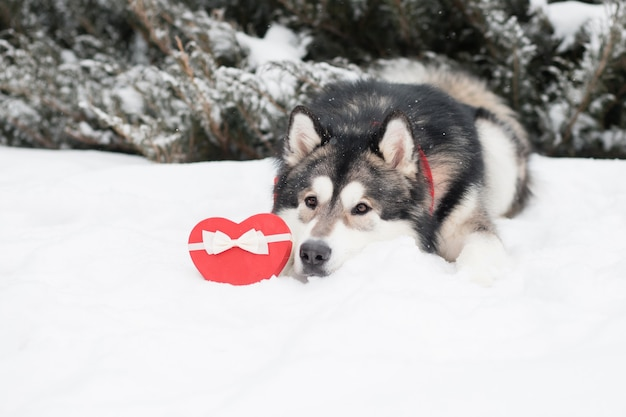 Leżący młody alaskan malamute w czerwonym szaliku z pudełkiem w kształcie serca. walentynki. pies