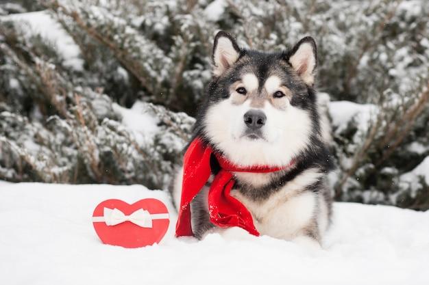Leżący piękny alaskan malamute w czerwonym szaliku z pudełkiem w kształcie serca. walentynki. pies