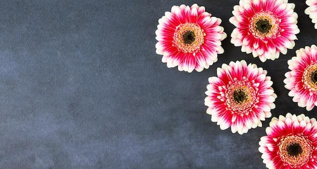 Leżał płasko czerwone i różowe kwiaty gerbery, baner. wiosna kartkę z życzeniami.