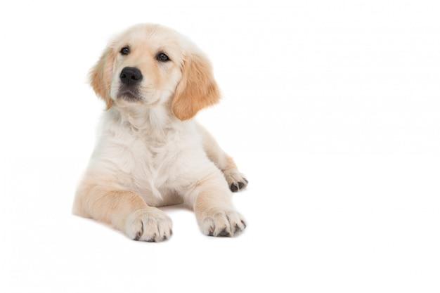 Łgarski pies patrzeje strona na białym tle