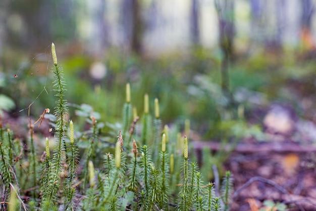 Licopodium z szyszkami zarodnikowymi znanymi również jako sosna mielona lub płożące cedry