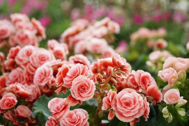 Liczne jasne kwiaty begonii bulwiastych
