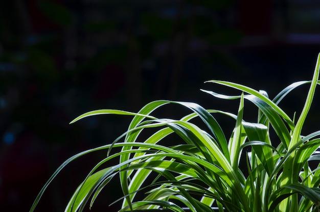 Lili paris (chlorophytum comosum), często nazywana pająkiem, ale znana również jako roślina samolotowa
