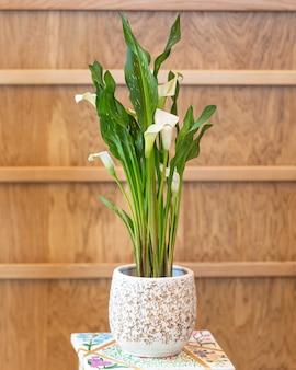Lilia arum w białym garnku