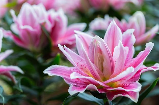 Lilia azjatycka lub lilie azjatyckie kwitną w ogrodzie w słoneczny letni lub wiosenny dzień.