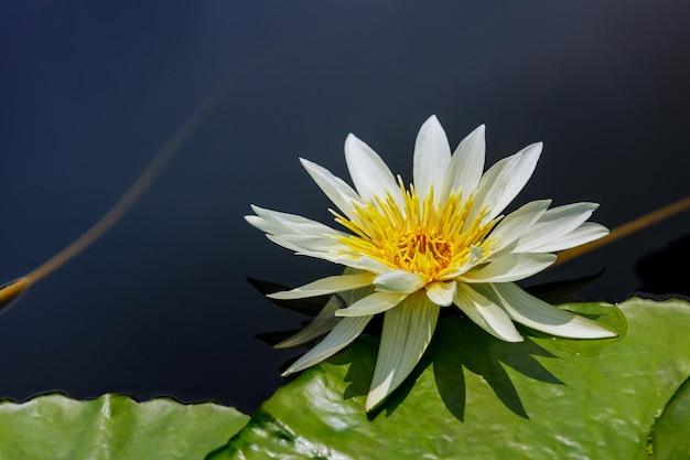 Lilia biała z pięknym liściem na wodzie.