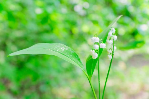 Lilia doliny. świeży bukiet kwitnących kwiatów leśnych.