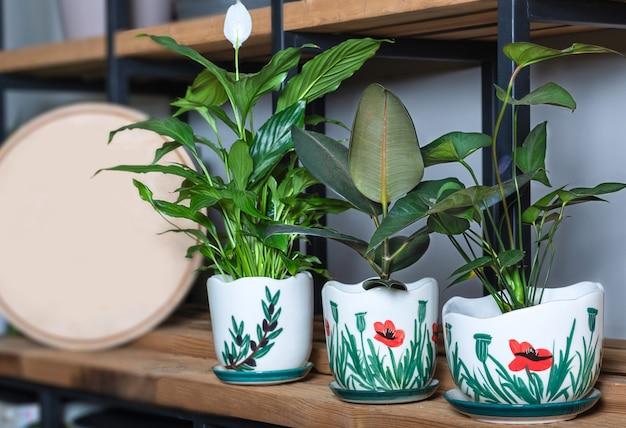 Lilia pokojowa, figa gumowa, ficus elastica w ręcznie malowanej doniczce