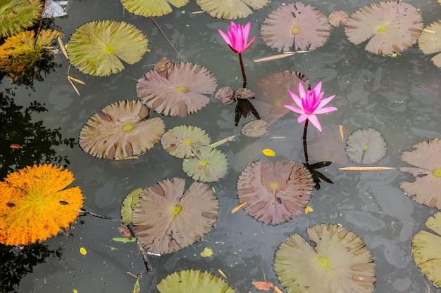 Lilia wodna. biały piękny lilia wodna w zielonym stawie. obraz natury. biały kolor świeżego kwiatu lotosu lub kwiatu lilii wodnej, kwitnących na stawie