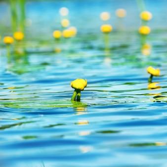 Lilia wodna kwitnie na stawie z niebieską wodą